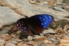 Striped Blue Crow butterfly stock photo