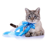 Striped blue-eyed cat with a blue bow. Striped blue-eyed cat with a blue tape. Cat with a bow. Portrait of a striped blue-eyed cat. Striped cat. Striped not Stock Photography