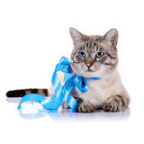 Striped blue-eyed cat with a blue tape. Royalty Free Stock Photos
