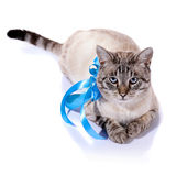 Striped blue-eyed cat with a blue tape. Stock Images