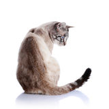 Striped blue-eyed cat. Striped cat. Striped not purebred kitten. Small predator. Small cat Royalty Free Stock Photos