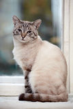 Striped blue-eyed cat. Portrait of a striped blue-eyed cat. Striped cat. Striped not purebred kitten. Small predator. Small cat Stock Photos
