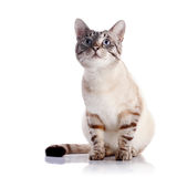 Striped blue-eyed cat. Portrait of a striped blue-eyed cat. Striped cat. Striped not purebred kitten. Small predator. Small cat Stock Image