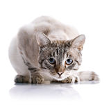Striped blue-eyed cat Royalty Free Stock Photo