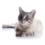 Striped blue-eyed cat. Portrait of a striped blue-eyed cat. Striped cat. Striped not purebred kitten. Small predator. Small cat Royalty Free Stock Photos
