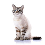 Striped blue-eyed cat. Portrait of a striped blue-eyed cat. Striped cat. Striped not purebred kitten. Small predator. Small cat Royalty Free Stock Images