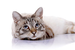 Striped blue-eyed cat. Portrait of a striped blue-eyed cat. Striped cat. Striped not purebred kitten. Small predator. Small cat Royalty Free Stock Photo