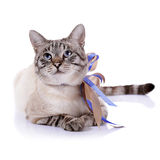 Striped blue-eyed cat with a tapes. Royalty Free Stock Images