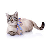 Striped blue-eyed cat with a tapes. Stock Images