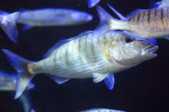 Striped bream Royalty Free Stock Photography