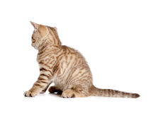 Striped british kitten rear or back view Stock Photo