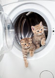 Striped british kittens inside laundry washer Stock Photo