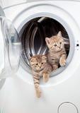 Striped british kittens inside laundry washer stock photo