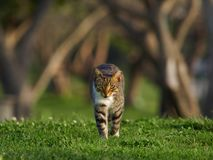 A striped brown cat with bright green eyes walks along a green lawn, in the background tree trunks. Stock Images