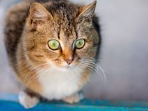 Striped brown cat with expressive green eyes looking closely in Stock Photos