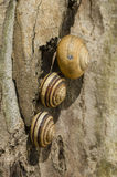 Striped brown ground snails Stock Image