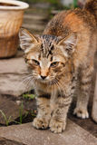 Striped brown kitten with big ears and mustaches close-up. Among flowers royalty free stock photo