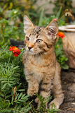 Striped brown kitten with big ears and mustaches close-up. Among flowers stock photography