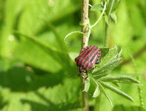 Striped bug chinch Stock Image