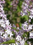 Striped bug on lilac blossom stock images