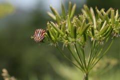 Striped Bug or Minstrel Bug Stock Images