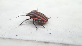 Striped bug moving walking. A striped bug walking on a table stock video