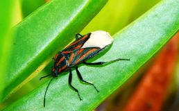 Striped bug. A red and black striped bug sitting on a spongy green succulent leaf.  Sedgefield.  South Africa Royalty Free Stock Photography