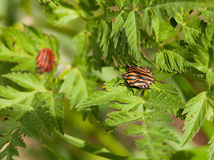 Striped bug at sunny summer day Royalty Free Stock Photography