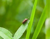 Striped bug on trefoil leaf Stock Photos