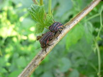Striped bugs on a branch Royalty Free Stock Photography