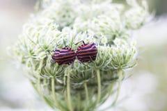 Striped bugs Graphosoma lineatum mates, soft focus. Pair of striped bugs Graphosoma lineatum mates on white flower. Italian striped bug or minstrel bug, soft Stock Photography