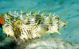 Striped Burrfish. Chilomycterus schoepfii, picture taken in Palm Beach County, Florida Royalty Free Stock Photography