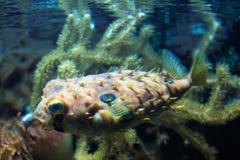 striped burrfish стоковое фото rf