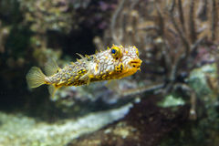 Striped burrfish (schoepfi Chilomycterus) стоковые фото