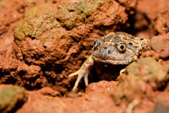 Striped Burrowing frog Royalty Free Stock Photos