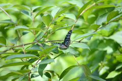 Striped butterflies Stock Photography