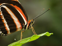 Striped butterfly Stock Photos