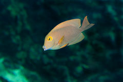 Striped butterfly-fish Royalty Free Stock Photos