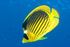 Striped butterflyfish (chaetodon fasciatus) Stock Images