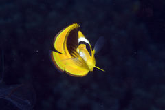 Striped butterflyfish in de Red Sea. Stock Image