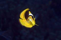 Striped butterflyfish in de Red Sea. Stock Image