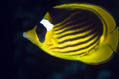 Striped butterflyfish in de Red Sea. Stock Photos