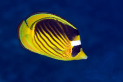 Striped butterflyfish in the Red sea. Stock Photography
