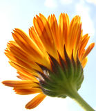 Striped calendula. With a bit of sky in the background Royalty Free Stock Image