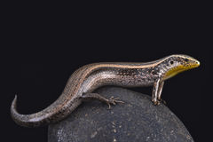 Striped Canary skink (Chalcides sexlineatus bistriatus) Stock Image