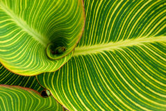 Striped Cannaceae (Canna) leaves Stock Photography