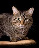 Striped cat. On a black background. Portrait Stock Photos