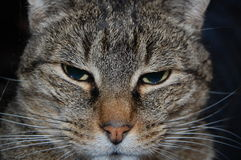 Striped cat. A sleepy striped brown cat Royalty Free Stock Photos