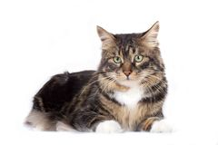 Striped cat. On a white background. Isolated stock photography