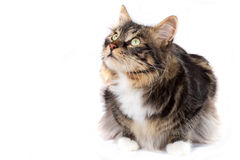 Striped cat Stock Images
